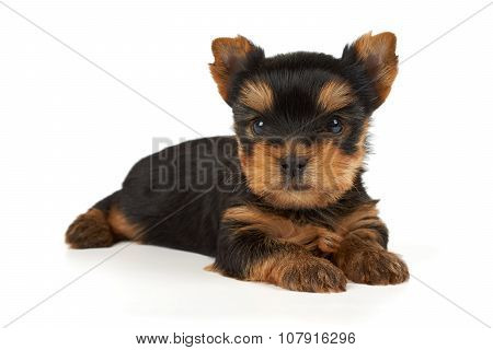 Beautiful And Small Puppy