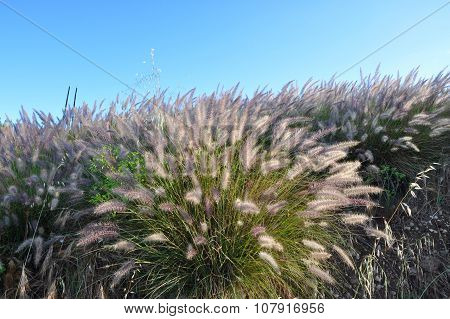 Meadow of Wild Purple Grasses