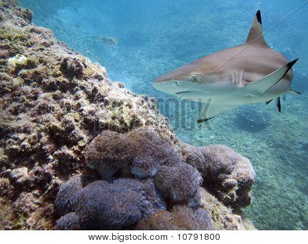 sharkb