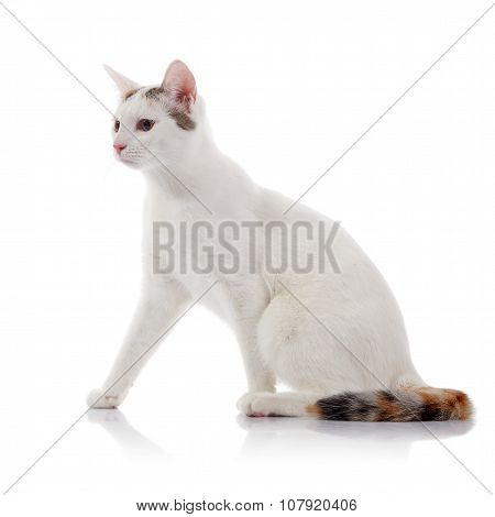 White Cat With A Multi-colored Striped Tail