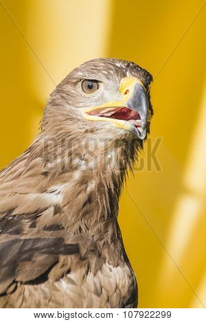 golden eagle, detail of head with large eyes, pointed beak