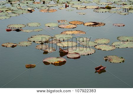 Giant Water Lilly Leaves Flowers And Flora Of The World