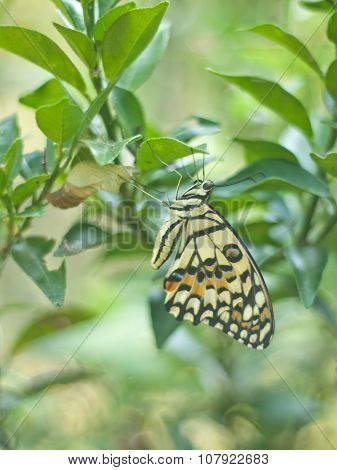 Metamorphosis Of Yellow Butterfly