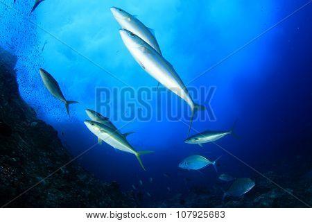 Mackerel fish hunting sardines underwater