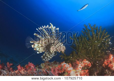 Lionfish (Pterois volitans) and coral underwater in ocean