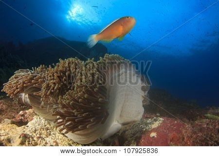 Anemone and Cownfish: Skunk Anemonefish