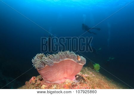 Anemone, Clownfish and scuba divers underwater