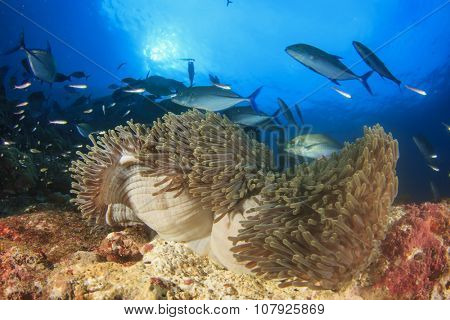 Hunting Bluefin Trevally fish swim over anemone with clownfish