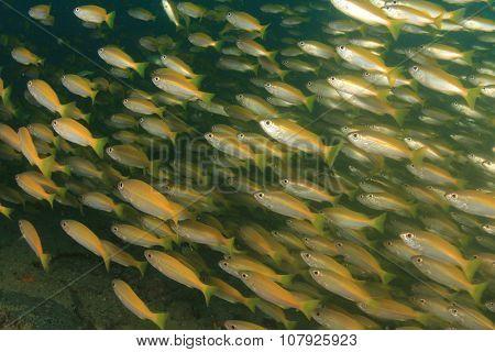 Shoal juvenile Snapper fish