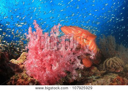 Red Coral Grouper hunting glassfish on reef