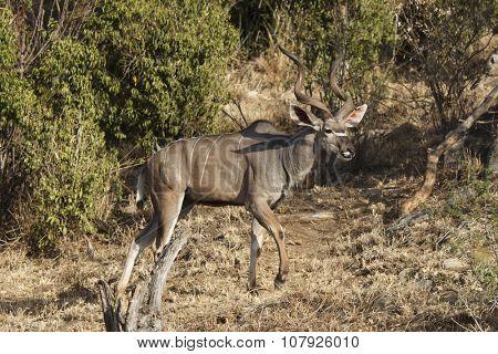 Kudu bull antelope