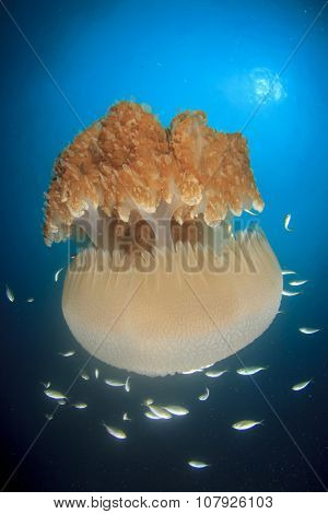 Large Pelagic Jellyfish