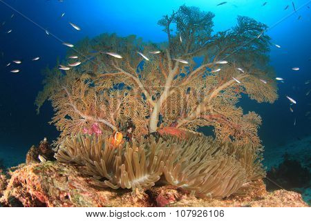 Anemone, Anemonefish and Gorgonian Fan Coral