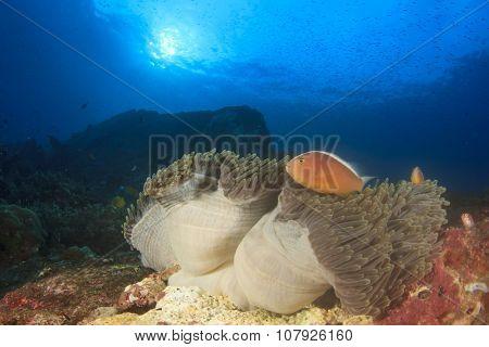 Anemone and Cownfish: Skunk Anemonefish
