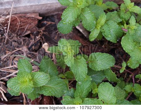 Kitchen Mint, The Plant Is A Perennial Herb