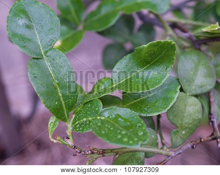 Kaffir Lime Skin And Used As Part Of Many Food