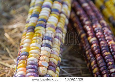 Indian Corn Close Up