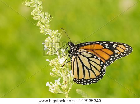 Female Monarch butterfly feeding on white Butterfly Bush flowers, with green background