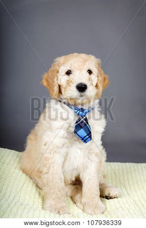 Cute Goldendoodle Pup With Tie