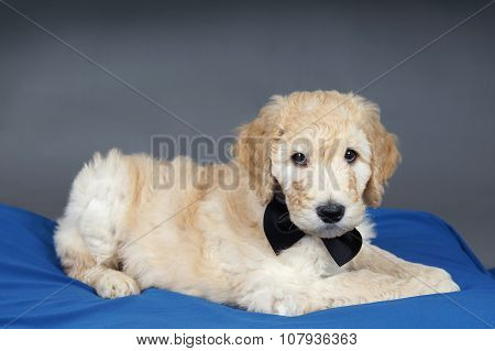 Puppy With Black Tie