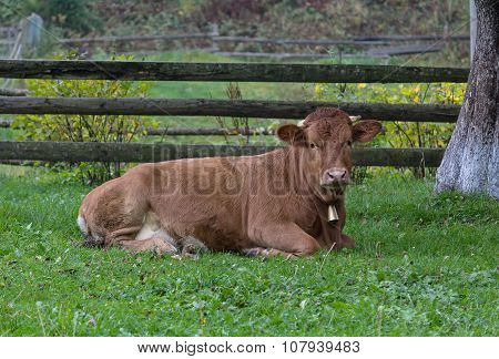 Cow Lying On The Grass On The Farm