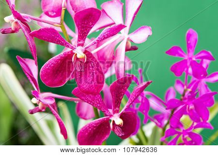 Magenta Orchid Flowers
