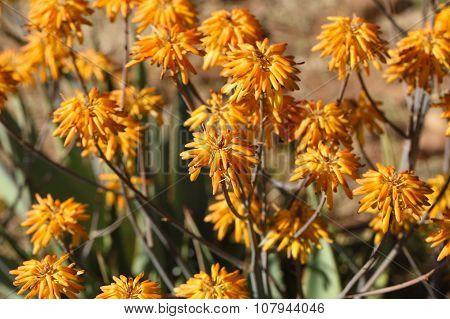 Aloe (aloe Berhana) In Africa