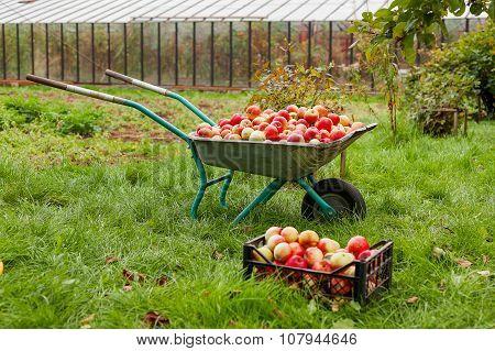 Autumn Harvest - Wheelbarrow And Crate Full Of Apples.