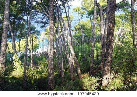 Pine tree forest on the coast.