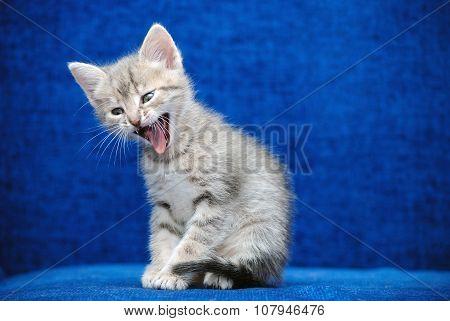 Kitten Shouts On A Blue Background