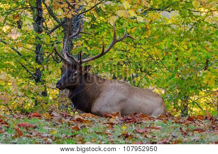 Bull Elk Laying In Fallen Leaves