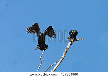 Cormorants (phalacrocorax Carbo)
