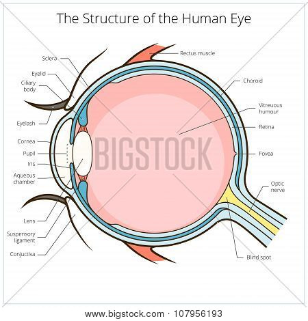 Human eye structure scheme vector