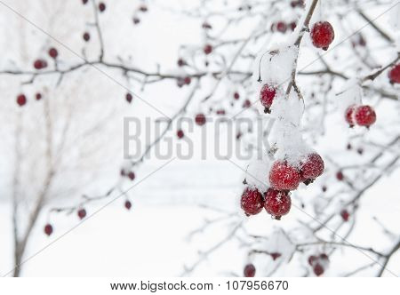 Red Fruit Tree Against White Snowy Background