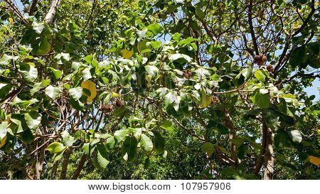 Cape Chestnut in Southern California