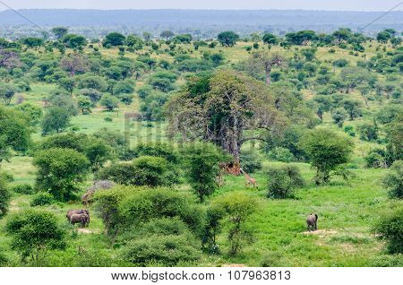 Group Of Elephants And Giraffes In Tarangire Park, Tanzania