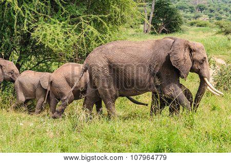 Elephant Family In Tarangire Park, Tanzania