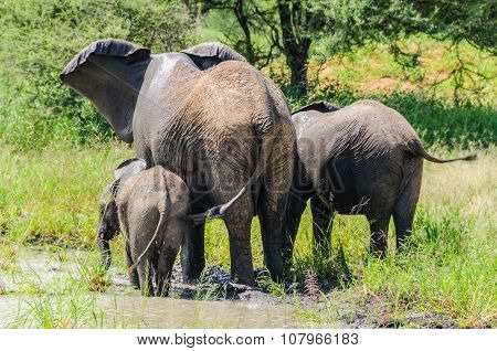 Elephants Getting Refreshed In Tarangire Park, Tanzania
