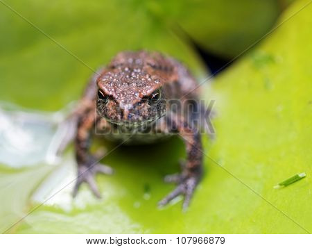 Baby Frog On A Green Leaf