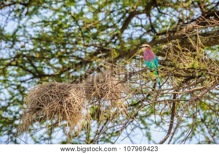 Colorful Bird In Tarangire Park, Tanzania