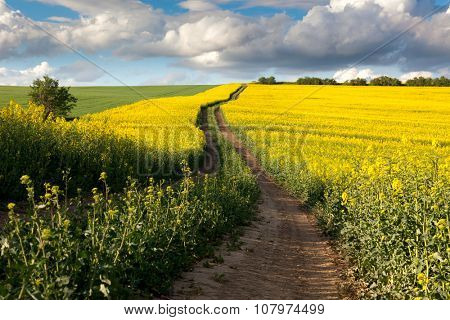 Ground Road in Flowering Field, beautiful countryside, sunny day