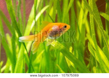 Goldfish In An Aquarium On A Background Of Green Plants