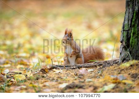 Cute Red Squirrel Standing In Autumn Forest Ground