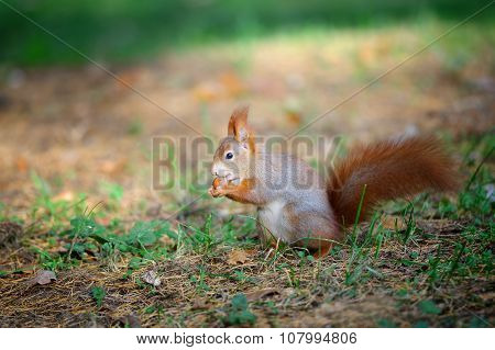 Cute Red Squirrel Eating Nut In Autumn Forest