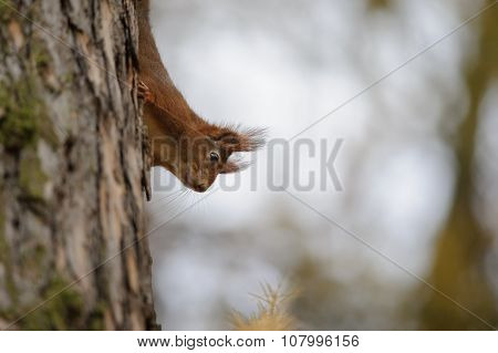 Cute Red Squirrel Climbing Down The Tree Trunk In Autumn Forest