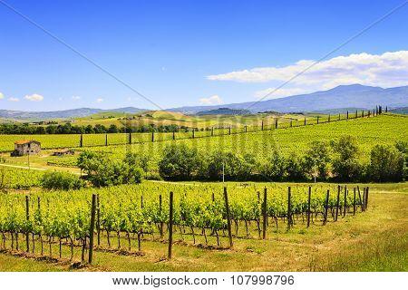 Montalcino, Vineyard, Cypress Trees And Old Farm. Tuscany, Italy