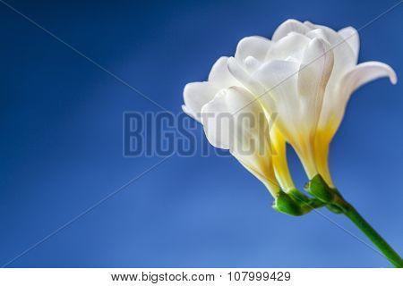 White Narcisi Flower