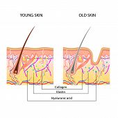 Постер, плакат: The anatomical structure of the skin young and old skin