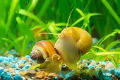 Постер, плакат: Two Snails Ampularia Yellow And Brown Striped Eat Algae On The Walls Of The Aquarium