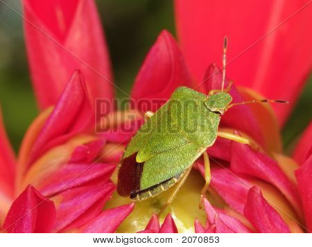 Green Bug In Flower